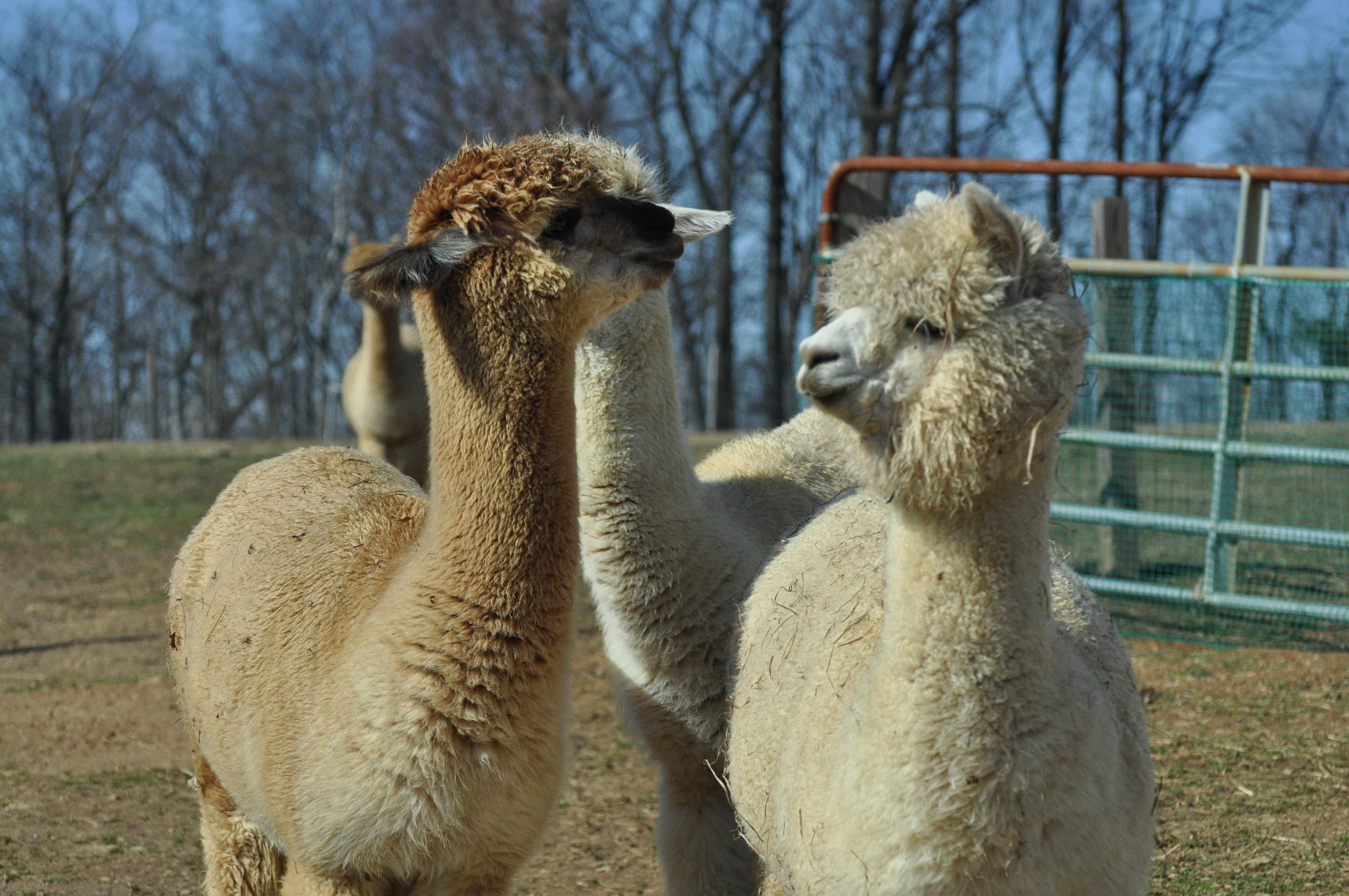 Breezy Hill Alpacas - Knitting & Crochet Club