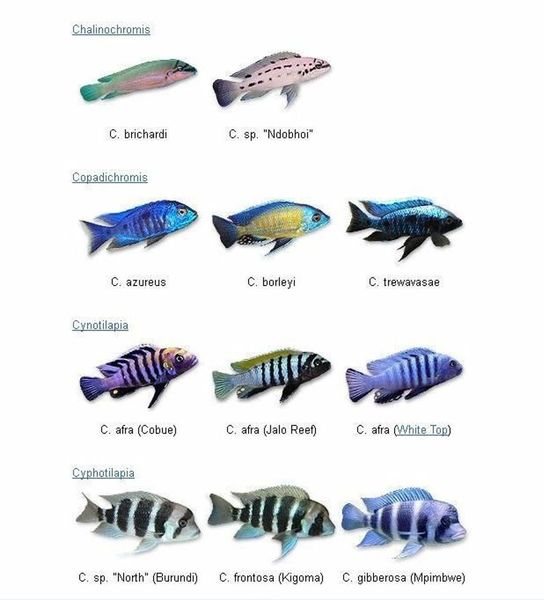 cichlids.com: love this chart |African Cichlid Chart