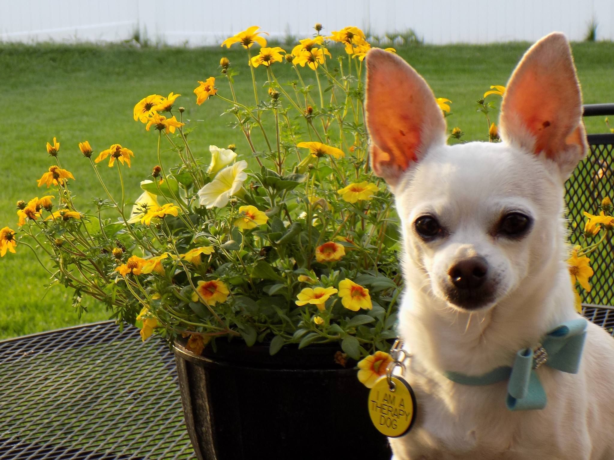 South Suburban Chihuahua