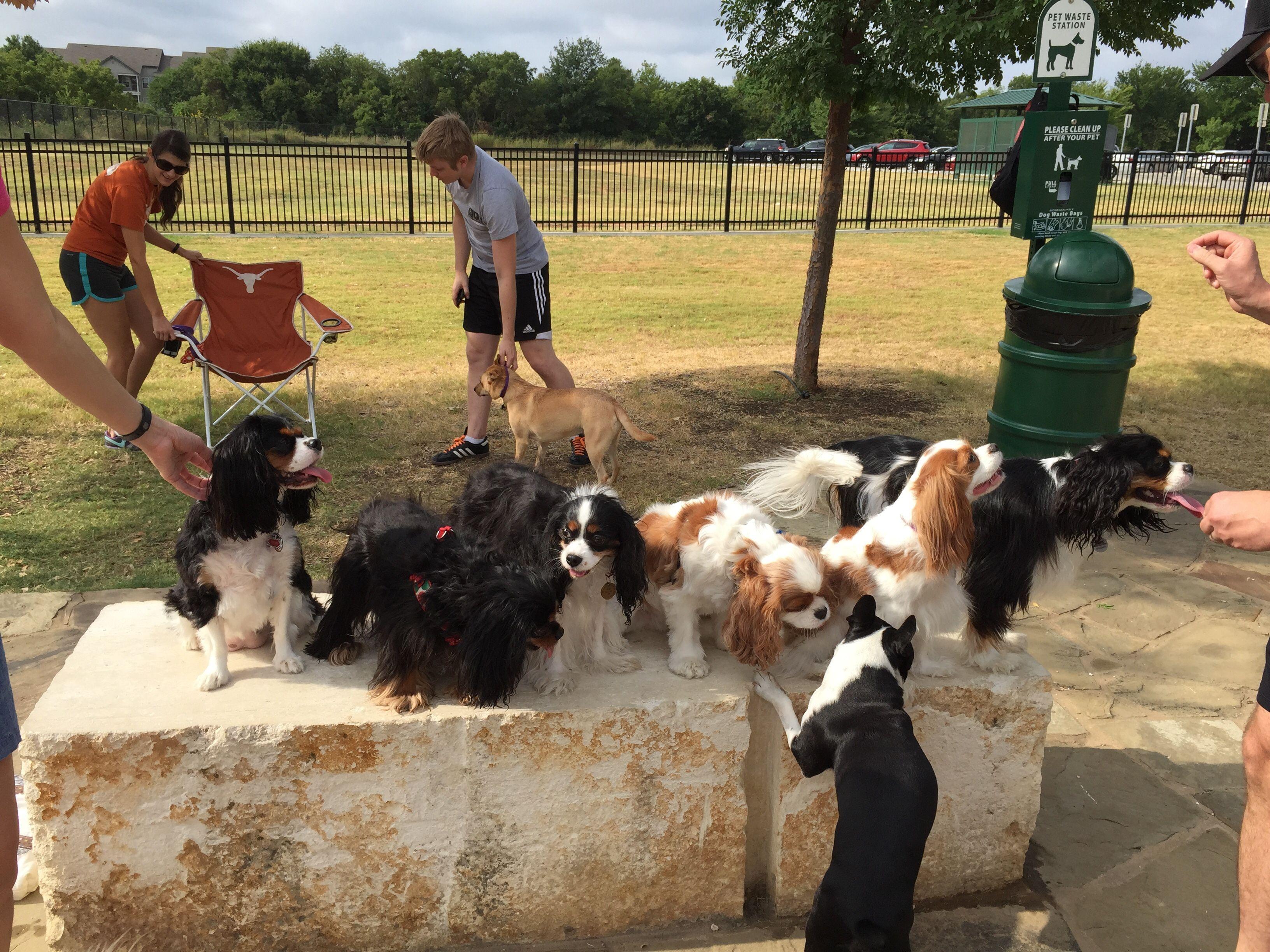 North Dallas/ Ft Worth Cavalier King Charles Spaniel Meetup