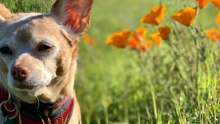 San Francisco Chihuahua Meetup