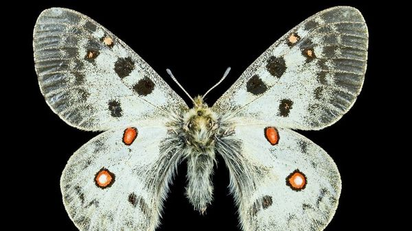Science On Tap - October - Climate Change And An Alpine Butterfly