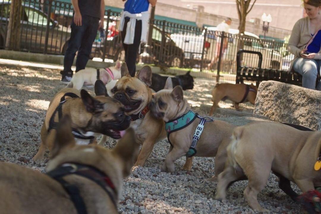 The Boston French Bulldog Meetup Group