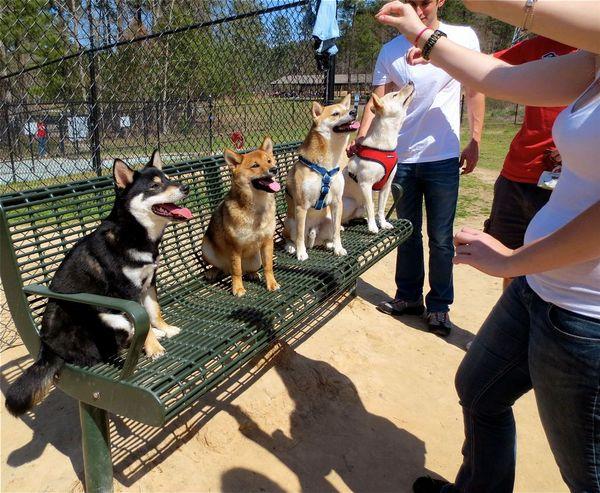 North Carolina Shiba Inu Meetup And Rescue Durham Nc