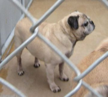SOS!!!! 8 Year Old Neutered Sweetie Pug and Puggles need rescue now