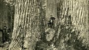 Photo for Speaking of Nature: Restoring the American Chestnut October 24 2019