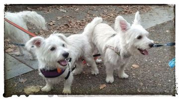 Westie Rescue NYC (WRNYC) - With Our Westies! (WOW!) (New