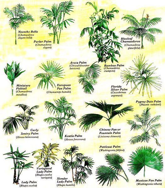 600_444662529 Types Of Tree Palm House Plant List on house plant umbrella tree, indoor palm plants types, like palm plants types, house with palm trees, dracaena house plant types, house plants that look like trees, lady palm tree types, house plant schefflera actinophylla, indoor ponytail palm tree types, small indoor palm tree types, identify tree types, house plants palms identify, house plants at lowe's, house plant rubber tree, south florida palm tree types, double trunk palm tree types, home plants types, house plant banana tree, palm names types,