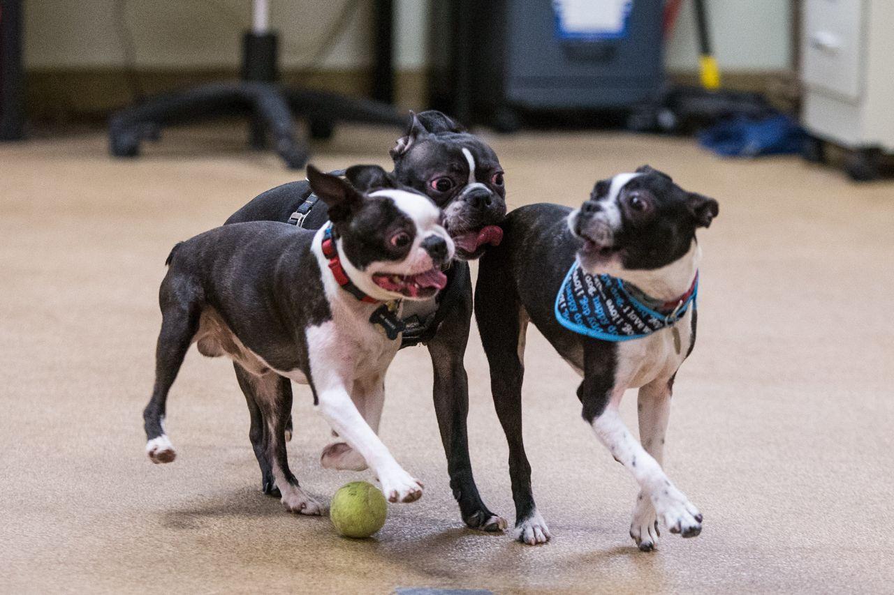 The Boston Boston Terrier Meetup