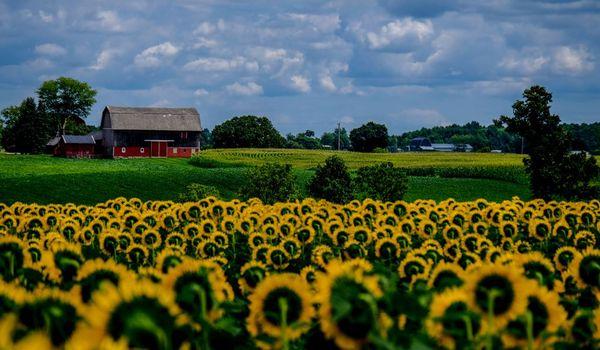 Old Barns And Farmland In Lenawee With Bonus Sunflower Field Shoot Michigan Photo
