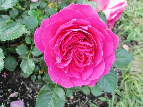 Edelrose & gt; Hybrid tea rose