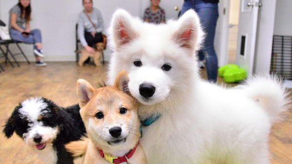 Small Dog Puppy Socialization Nyc