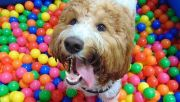 Photo for A Ball Pit Meetup at Frolick Dogs -- Just for Aussies! August 23 2019