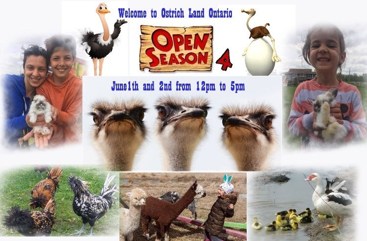 Ostrich land in Niagara Region