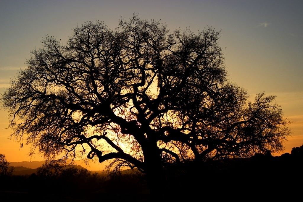 Protogrove of the Valley Oak - ADF Druidry in the Bay Area