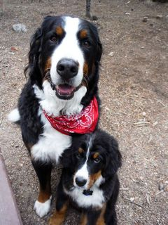 bernese mountain dog colorado
