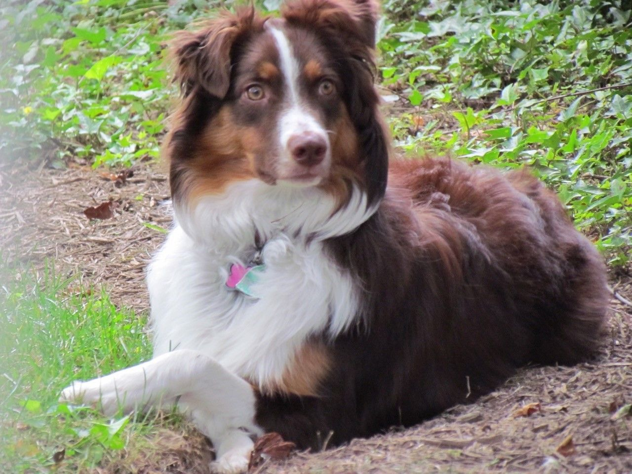 Circle C Australian Shepherds Rebecca C. - Au...