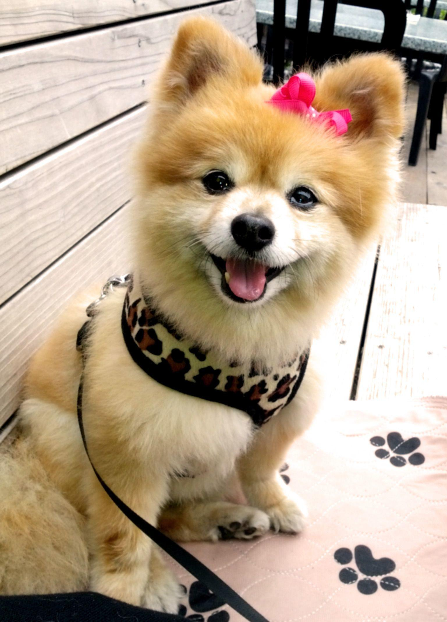 fluffy miniature dogs - photo #35