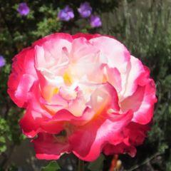 Rose T.