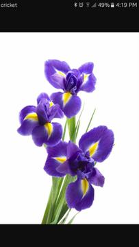 Iris A.