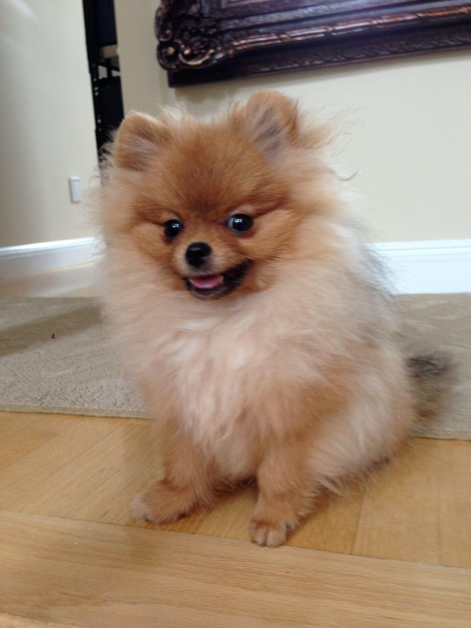 fluffy miniature dogs - photo #6