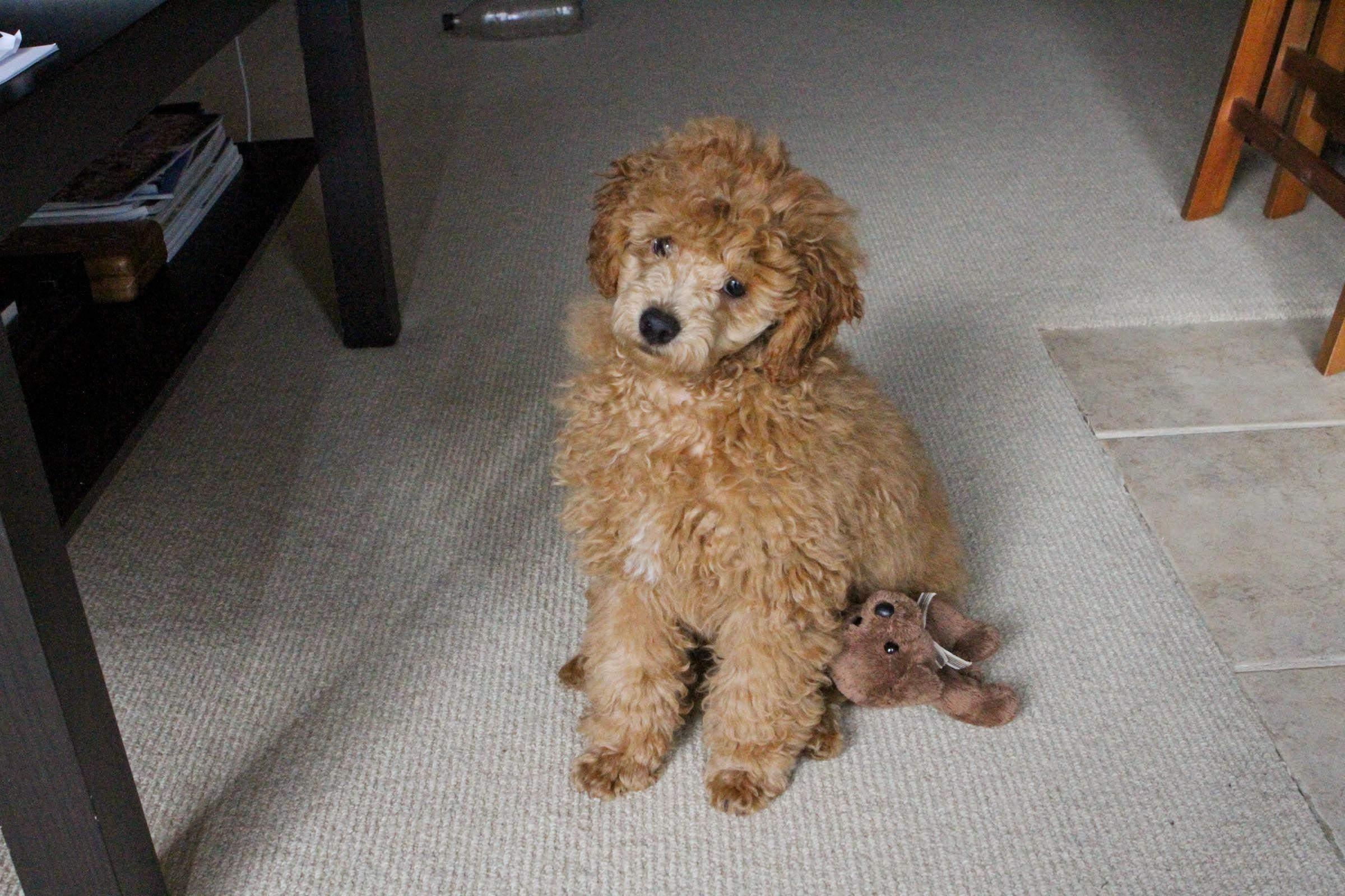 Cavelicia Seattle Labradoodle Goldendoodle All Doodles