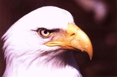 one_eagle_one