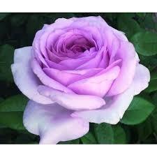 Rosa S.