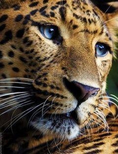 Jaguar U.