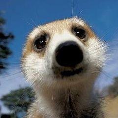 meerkat132
