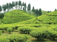 Gopaldhara Tea E.