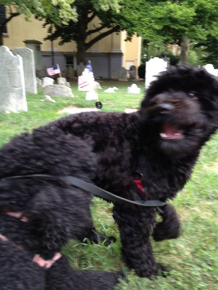 Susan F Doodle Dogs Of Philadelphia Philadelphia Pa