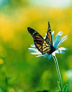 Monarch W.