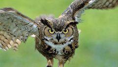 Owl Medicine W.