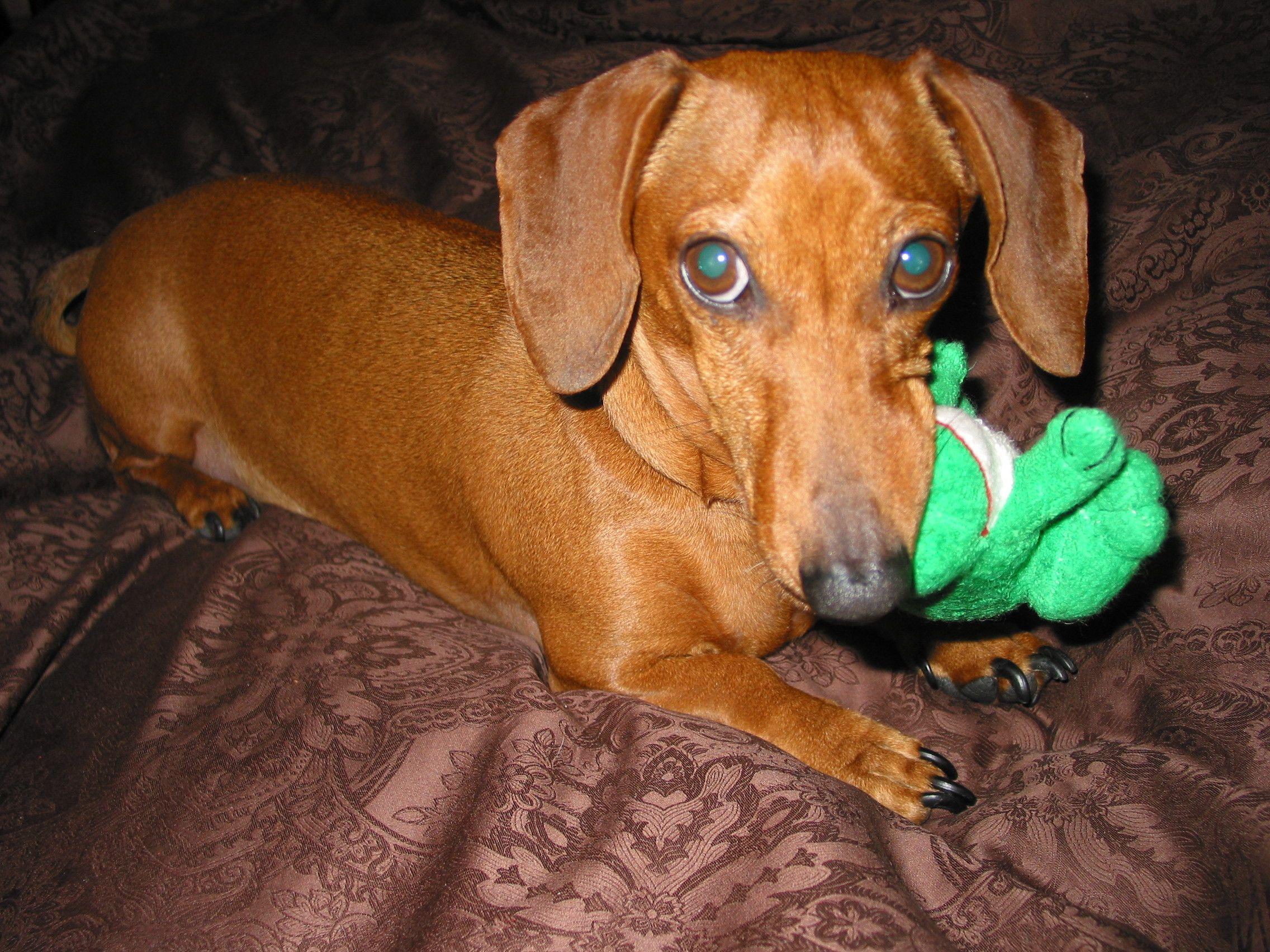 dachshund rescue pa