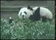 Panda M.