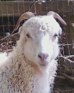 goat_herd