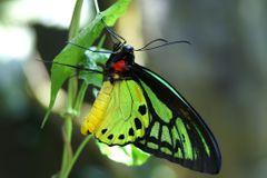 EbonieButterfly