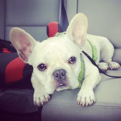 Bob_the_Frenchie