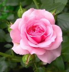 Rose S.