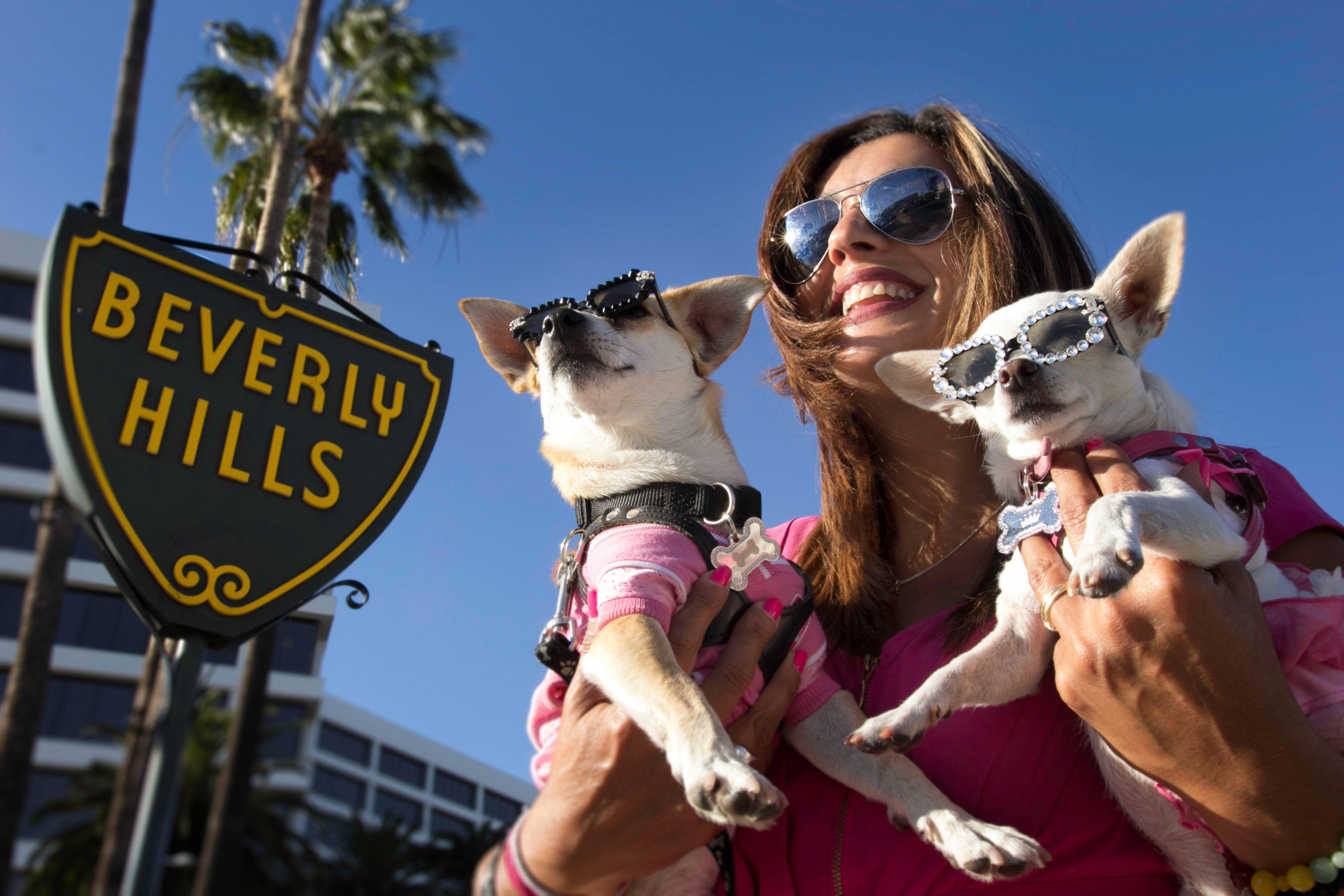 Magnífico Beverly Hills Chihuahua Para Colorear Ilustración ...