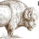 Buffalo 😊