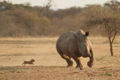 rhinochaser