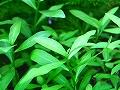 Mundiñol Aquatic Plants