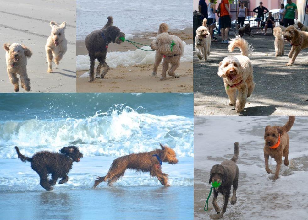 All Photo Albums Doodle Dogs Of Philadelphia Philadelphia